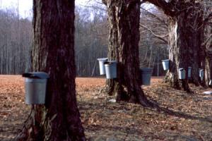 Maine Maple Sap Buckets